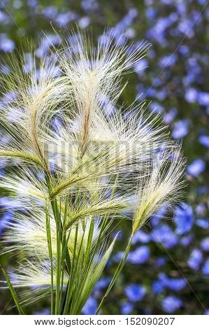 The maned barley (Latin name Hordeum jubatum). A group of spikelets of a plant close up poster