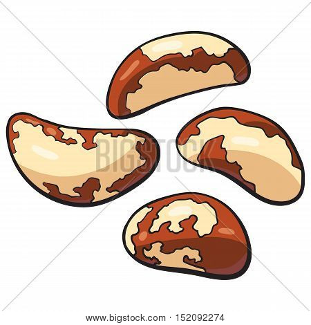 Whole and peeled brazil nuts, vector illustration isolated on white background. Drawing of brazil nuts on white background, delicious healthy vegan snack