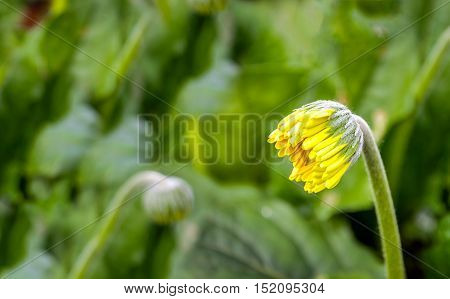 Closeup of a yellow bud of s Gerbera plant in a specialized Dutch flower nursery with a heated glasshouse.