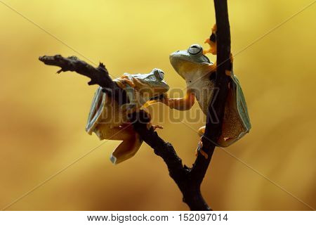 Tree frog, two Java tree frog face to face