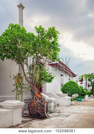 Tree of the family Ficus grown in clay pots on Thai street in Bangkok, Thailand. In the eastern tradition Ficus trees are classic elements of interior and landscape design.