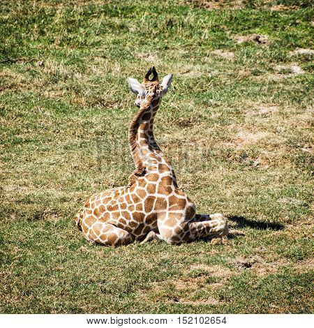 Young Rothschild's giraffe - Giraffa camelopardalis rothschildi - resting in the grass. Animal theme. Beauty in african nature.