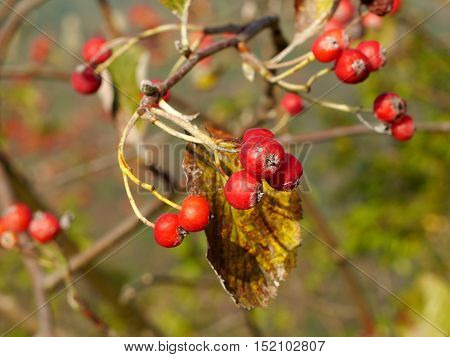 Autumn red fruits, small wild apples in morning light