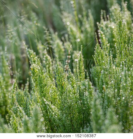 horsetail herb covered with dew in the meadow spring season