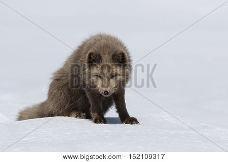 Commanders blue arctic fox sitting in the snow with his head down a bright sunny day
