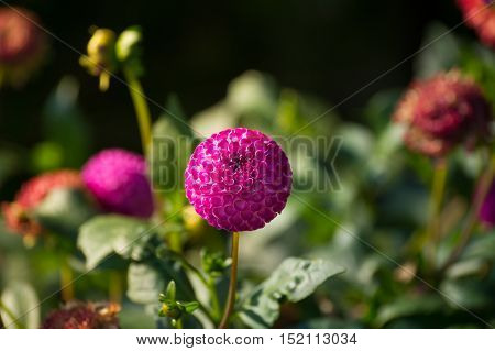 Close-up of a Pink Flower. Spring Flowers. Garden Flowers. Blooming Flowers in Spring. Purple Flowers. Flower Head