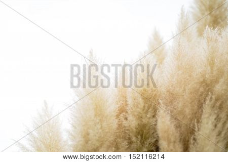 Pampas yellow grass flower on isolated background