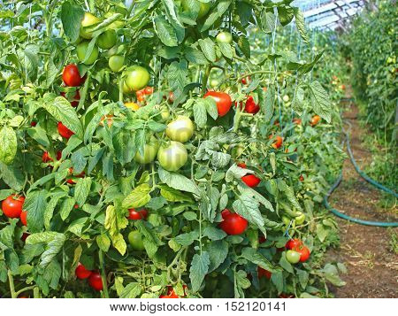 Many Ripe Red Tomato Fruits In Film Greenhouse