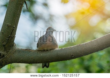 Mourning Dove Bird Perched On A Tree Branch.