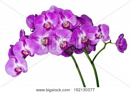 Pink blossoms of orchid on the white background