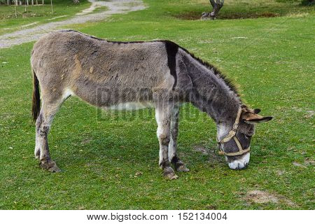 Donkey - plain unassuming and very stubborn animals.