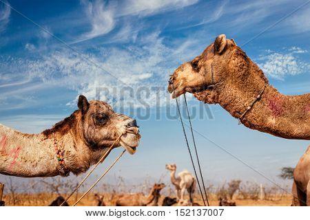 Camels at Pushkar Mela (Pushkar Camel Fair). Pushkar, Rajasthan, India