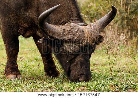 African Buffalo Syncerus Caffer