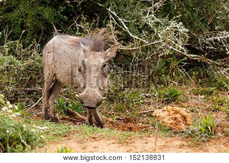 Warthog Standing Still For A Photo