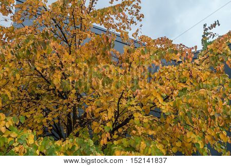 Golden autumn leaves stand out against a greay building.