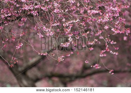 Blooming whitcomb cherry in spring for nature background