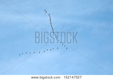 Flock of geese flying in formation