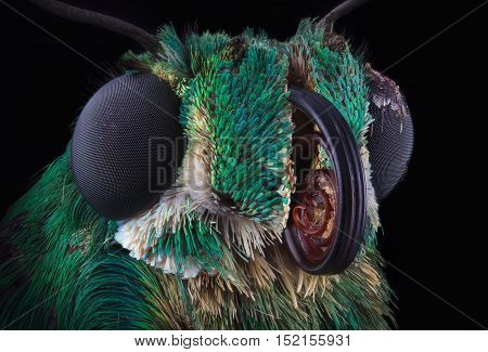 Portrait of green skipper butterfly from Dominicana through a microscope. Astraptes habana.
