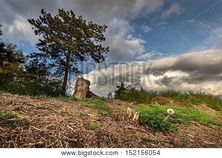 Withered dandelion and pine tree. Moravian landscape Svitavka.