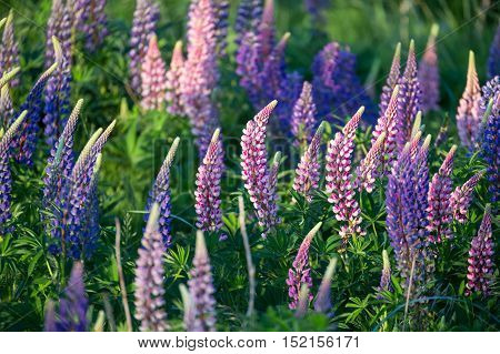 Lupinus commonly known as lupin or lupine