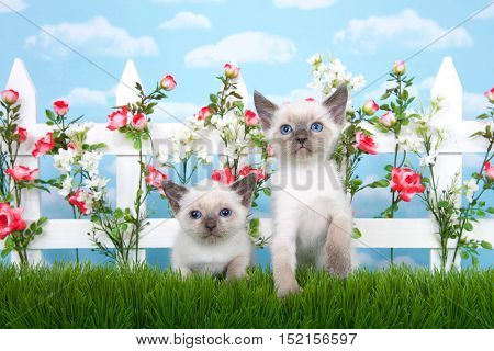Two adorable Siamese kittens sitting in long grass with white picket fence in background pink roses and white flowers on fence sky background with clouds. Normal sized kitten and one runt siblings