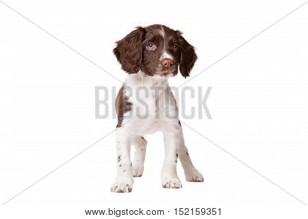 Dutch partrige dog Drentse patrijs hond in front of a white background