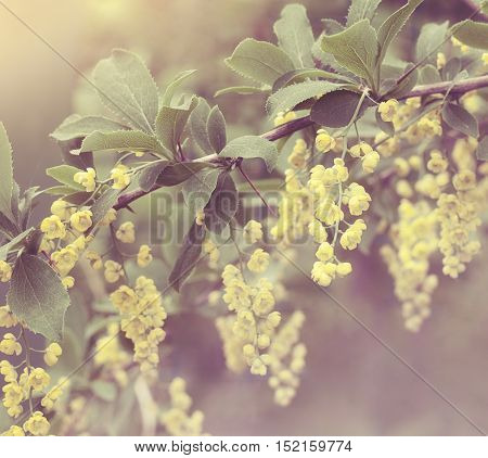 Beautiful barberry flowers with bokeh and soft focus. Retro aged photo.