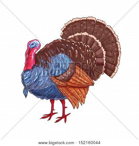 Thanksgiving turkey. Color sketch vector isolated turkey bird symbol for thanksgiving holiday celebration decoration design, greeting card, invitation