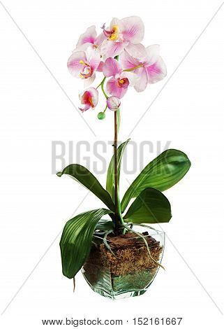 Orchid in glass flowerpot isolated on white background. Closeup.