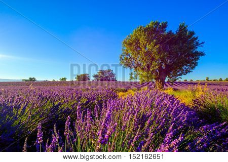 Lavender field at plateau Valensole, Provence, France