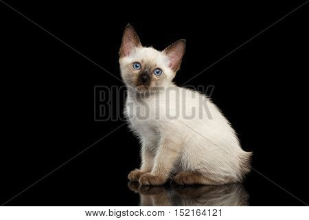 Portrait of Beautiful Mekong Bobtail Kitty with Blue eyes Sitting side view, Isolated Black Background, Color-point Thai Fur
