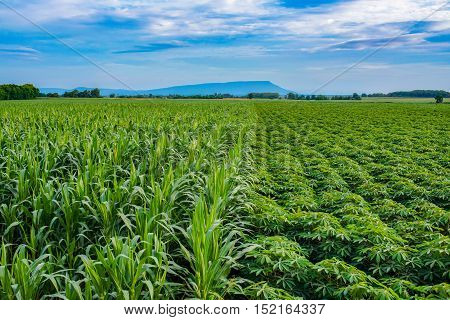 Corn and cassava plants growing with the blue sky.