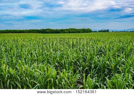 Corn plants growing with the blue sky.