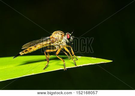 Asilidae Robber fly waiting for prey on green leaf at night scene