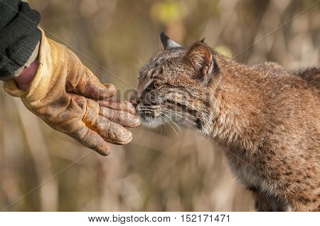 Bobcat (Lynx rufus) Sniffs Handler's Gloved Hand - captive animal