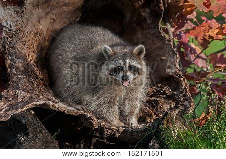Raccoon (Procyon lotor) Looks Out and Cries - captive animal