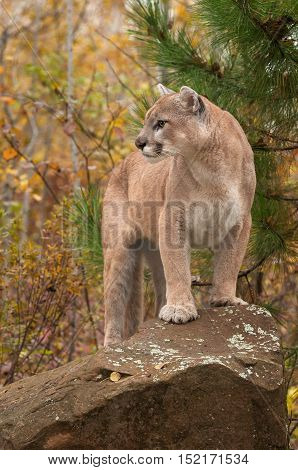 Adult Male Cougar (Puma concolor) Looks Left from Atop Rock - captive animal