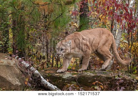 Adult Male Cougar (Puma concolor) Creeps Across Rock - captive animal