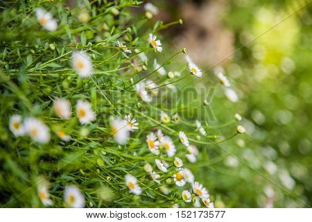 white Chamomile flower in a garden field