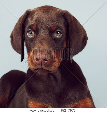 Beautiful brown Doberman puppy sitting on blue background in the Studio carefully and seriously looking at you. The best dog for the protection of the family