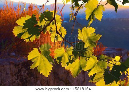 Picturesque sunset with grape leaves in Andalusia Spain.
