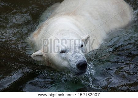 Polar bear (Ursus maritimus) swimming. Wildlife animal.