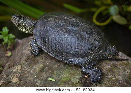 European pond turtle (Emys orbicularis), also known as the European pond terrapin. Wildlife animal.