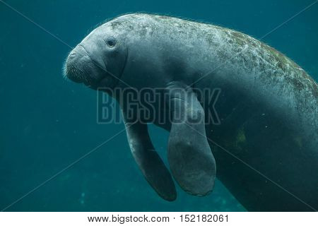 Antillean manatee (Trichechus manatus manatus). Wildlife animal.