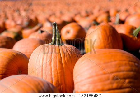 A pumpkin stands alone among a field of pumpkins.