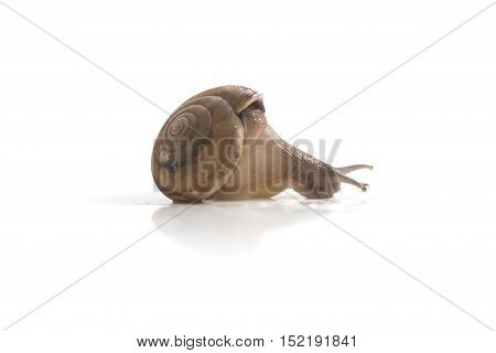 Garden Snail Isolated On White Background ,snail Close Up,ubonratchathani,thailand.