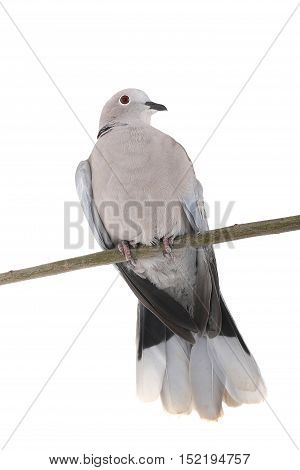 eurasian collared dove on a white background