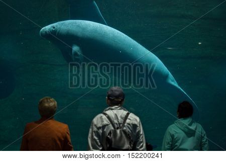 NEREMBERG, GERMANY - JUNE 16, 2016: Visitors observing as the Antillean manatee (Trichechus manatus manatus) swims at Nuremberg Zoo in Nuremberg, Bavaria, Germany.