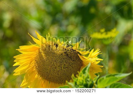 Sunflower (Helianthus). Close-up of a Sunflower. Spring Flowers.  Garden Flowers. Yellow Flowers. Blooming Flowers in Spring.  A field full of Sunflowers
