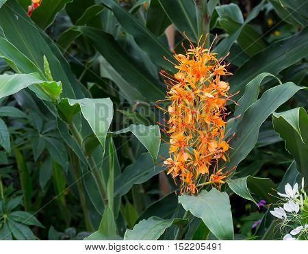 Red Ginger Lily Flower Hedychium Coccineum Tara
